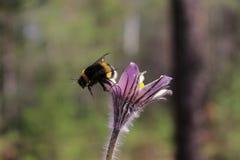 Humla som söker efter nektar Arkivbild
