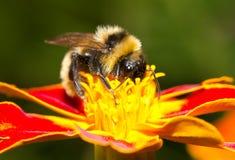 humla som samlar nectar arkivfoto