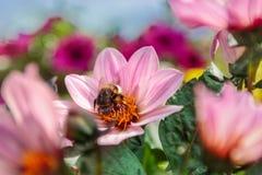 Humla som samlar nektar bland magentafärgade Dahlia Single Flame fl Arkivbilder