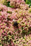 Humla som samlar nektar från en buske royaltyfria bilder