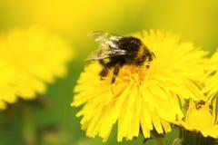 humla som samlar pollen Arkivfoton