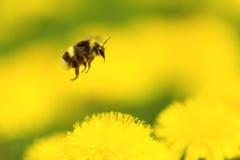 humla som samlar pollen Arkivfoto