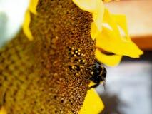 Humla som samlar pollen från en solros Royaltyfri Bild