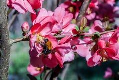 Humla som samlar pollen på en vårdag från blomman av japanska rosor i trädgården arkivbilder