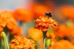 Humla som tätt pollinerar blommatagetes upp härlig natur Arkivbild