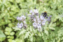 Humlacloseuen stapplar biet på växten för Phacelia tanacetifoliahonung för bin och kryp Arkivbilder