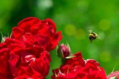 Humlalandning på en ros Royaltyfri Bild
