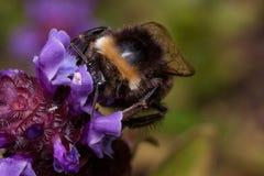 Humlan är annalkande pollen från den vulgaris prunellaen Djur i djurliv fotografering för bildbyråer