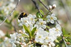 Humlan äter nektar från en körsbärsröd blomning arkivfoto