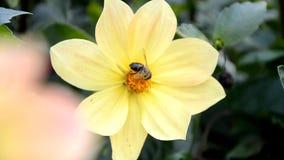 Humlan pollinerar blomman stock video