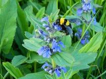 Humlan samlar nektar Fotografering för Bildbyråer