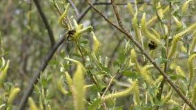 Humlan samlar nektar från att blomma pilen stock video