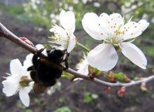 Humlan samlar nektar från blomman arkivfoto