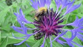 Humlan samlar nektar från blomman stock video