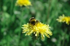 Humlan samlar nektar från maskrosen Arkivfoton