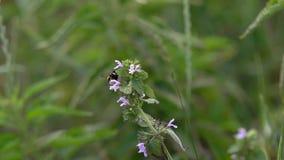 Humlan samlar p? nektar stock video