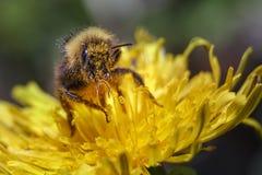 Humlan samlar pollen från den gula blomman royaltyfri foto