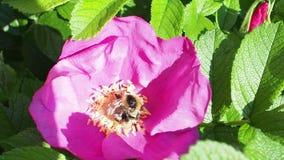 Humlan samlar pollen från den rosa blomman av hunden steg stock video
