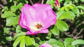 Humlan samlar pollen från den rosa blomningen av hunden steg arkivfilmer