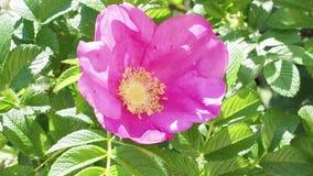 Humlan samlar pollen från rosa blom av hunden steg stock video