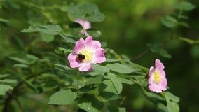 Humlan som samlar nektar på rosa caninahund, steg, briarblommacloseupen stock video