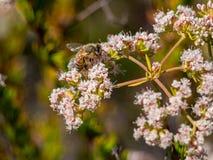 Humlan som samlar pollen på på den Laguna kustvildmarken, parkerar, Laguna Beach, Kalifornien royaltyfria bilder