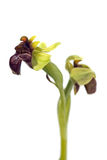 Humlaorkidé - Ophrysbombyliflora Royaltyfri Foto