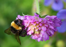 humlaväxt av släkten Trifolium Arkivfoton