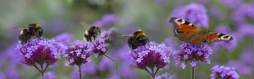 Humlor och fjäril på den trädgårds- blomman fotografering för bildbyråer