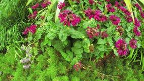 Humlor på blommor stock video