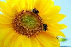 Humlor på en gul solros Arkivfoton