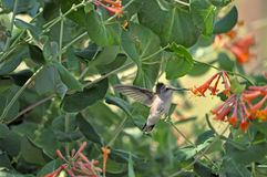 Hummbingbird preto-chinned que recolhe o néctar Fotografia de Stock Royalty Free
