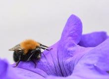 Hummel auf Begonie -在秋海棠的土蜂 库存图片
