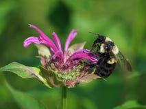 Hummel auf Bergamotten-Blume Stockbilder