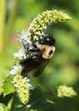 Hummel auf Blume Lizenzfreies Stockfoto
