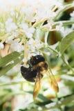 Hummel auf Blume Lizenzfreie Stockfotos