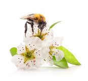Hummel auf Blumen stockfotografie