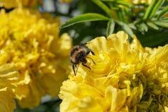 Hummel auf den Blumenblättern Lizenzfreie Stockbilder