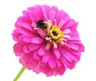 Hummel auf der Blume Lizenzfreies Stockfoto