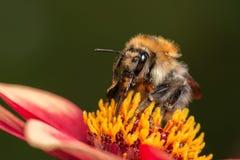 Hummel auf der Blume Stockfotos