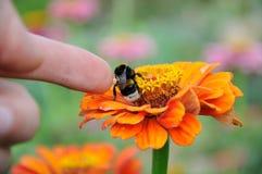 Hummel auf der Blume von Zinnia Lizenzfreie Stockbilder
