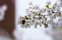 Hummel auf der Kirschblüte-Niederlassung Lizenzfreies Stockbild