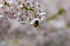 Hummel auf der Kirschblüte-Niederlassung Lizenzfreie Stockbilder