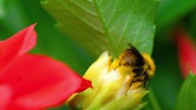 Hummel auf der roten Dahlienblumenknospe stock video footage
