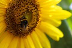 Hummel auf der Sonnenblume Stockfotografie