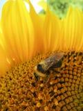 Hummel auf der Sonnenblume Lizenzfreie Stockbilder