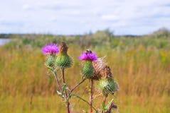 Hummel auf Distel-Blume Lizenzfreie Stockfotografie