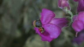 Hummel auf einem Blumenlöwenmaul stock video