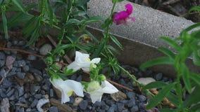Hummel auf einem Blumenlöwenmaul stock video footage