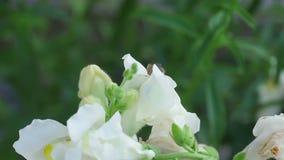 Hummel auf einem Blumenlöwenmaul stock footage